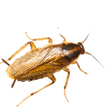 germanRoach_edited.png