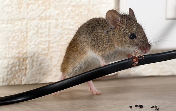 pest-library-rodents-identification.jpg
