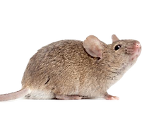 Rodent Pest Control: Northeast Region Pest Control