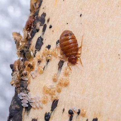 Bed Bugs Suck Blood: NE Region Pest Control