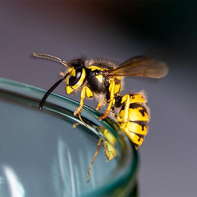 Stinging Insects Control - Bees and Wasps
