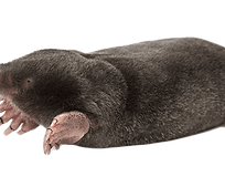 mole_edited.png