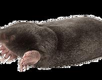 Learn More About Moles & Voles-Northeast Region Pest Control