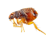 Flea Pest Control: Northeast Region Pest Control