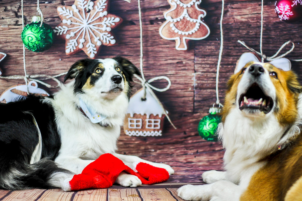christmas doggy photos in east sussex