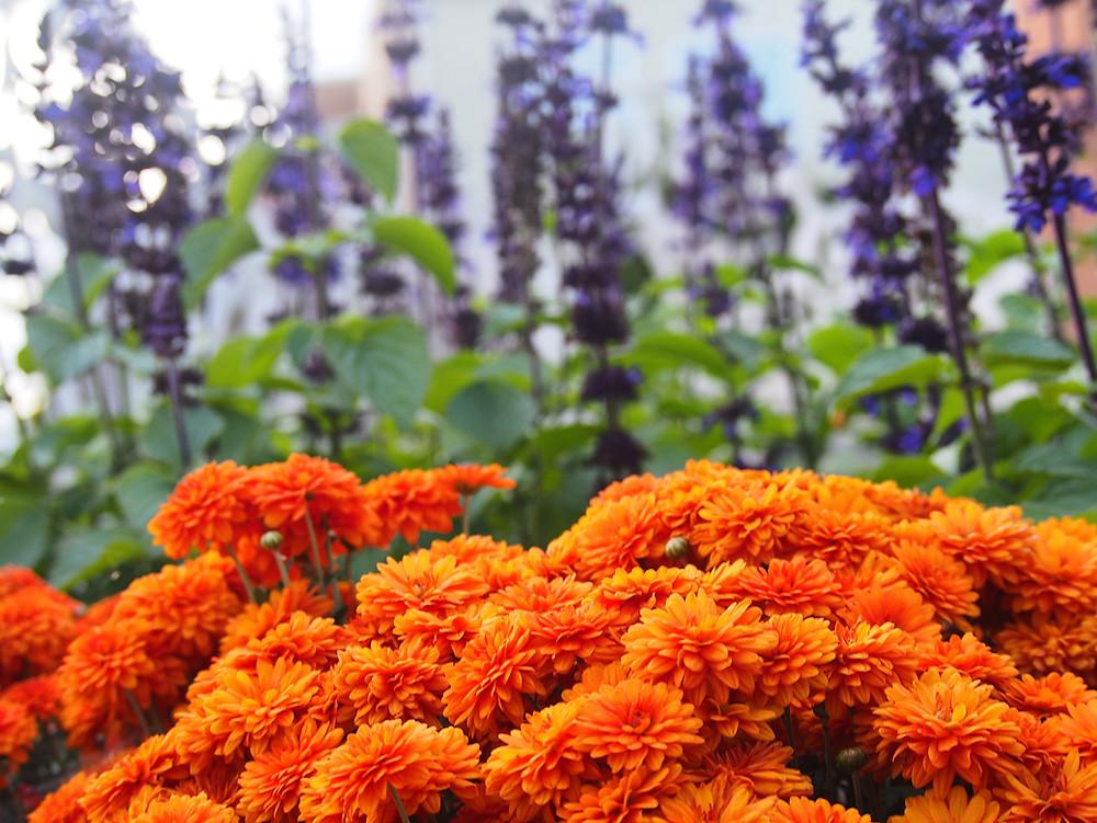 Marigolds and Purple Salvia in one of the Geneva Beautification Gardens, Photo: Janae Jean, 2020