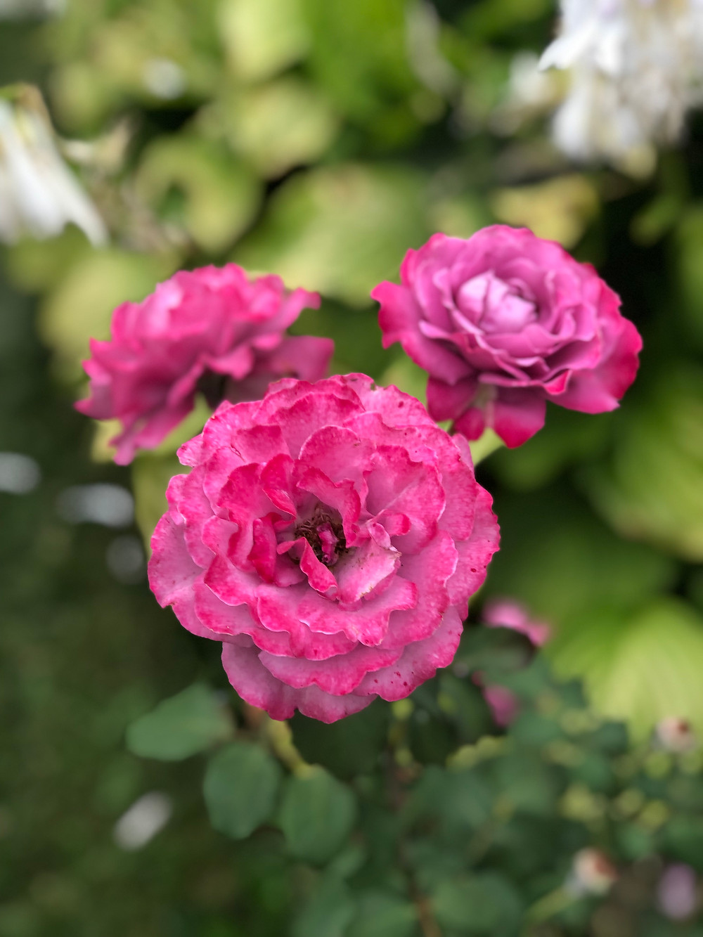 Roses add scent, beauty, and texture. 2020 Janae Jean