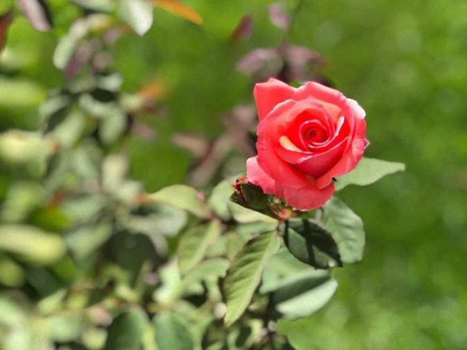 A Blooming Rose in the Garden, Janae Jean