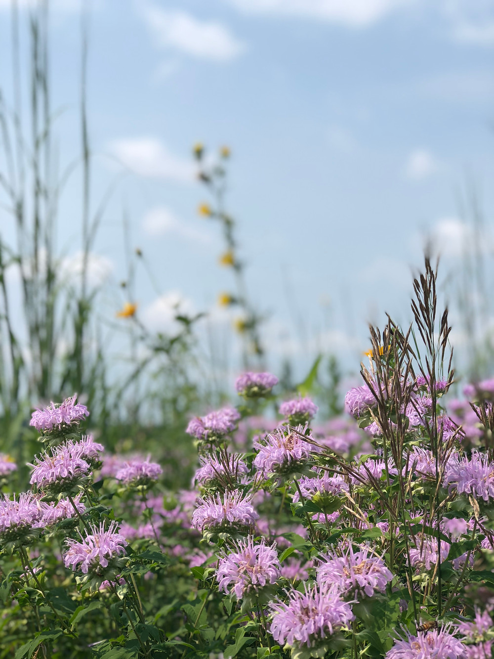 Wild Bee Balm on the Prairie