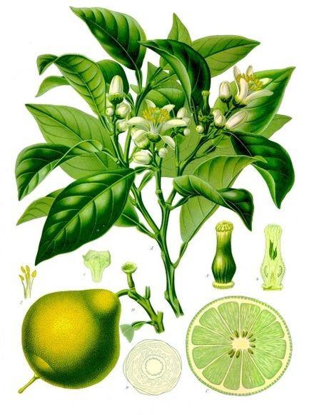 Bergamot orange (Citrus bergamia) Franz Eugen Köhler, Köhler's Medizinal-Pflanzen