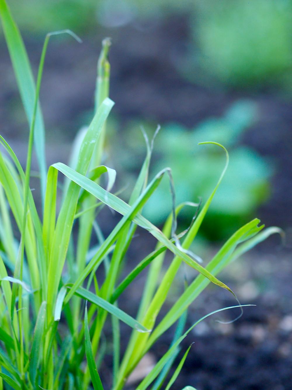 Lemongrass in the Tea Garden