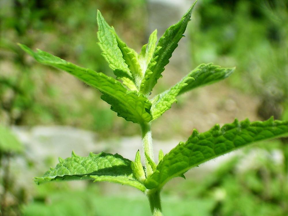 Spearmint Plant (wikipedia)