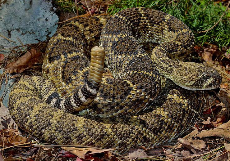western diamondback rattlesnake shaking rattle