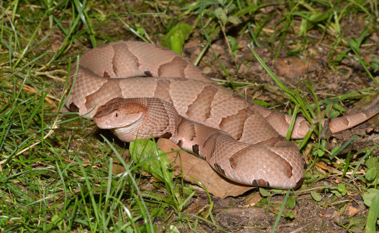 copperhead snake lying in grass coiled up
