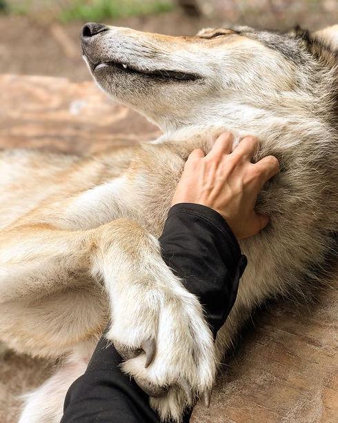 volunteer wolf interaction.jpg