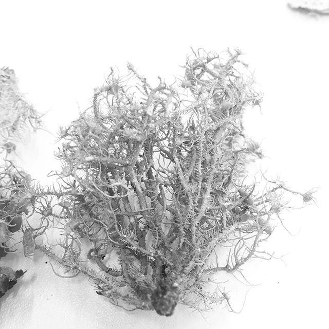 Lichen québécois