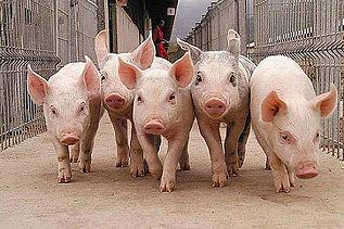 Освещение свинокомплексов, светодиодные светильники для свиноферм, светильники для сельского хозяйства, защищённые светильники, светильники для животноводства, проектирование свинокомплексов, типовое решение для свинофермы, свинарник