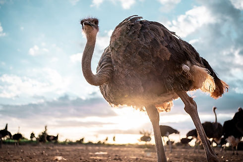 avestruces2-11_edited.jpg