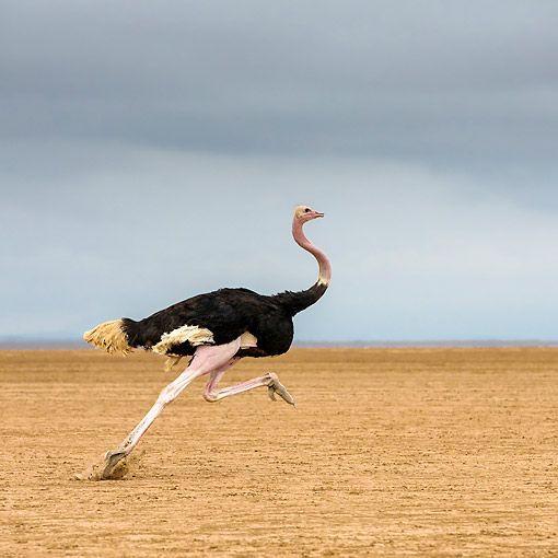 velocidad avestruz.jpg