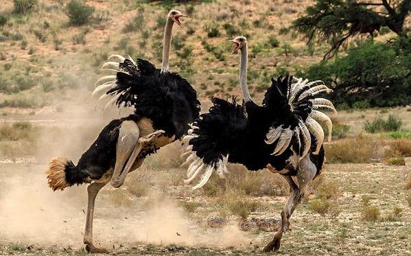 pelea de avestruces.jpg