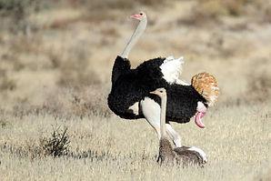 avestruces apareando3.jpg
