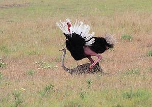 avestruces apareando1.jpg