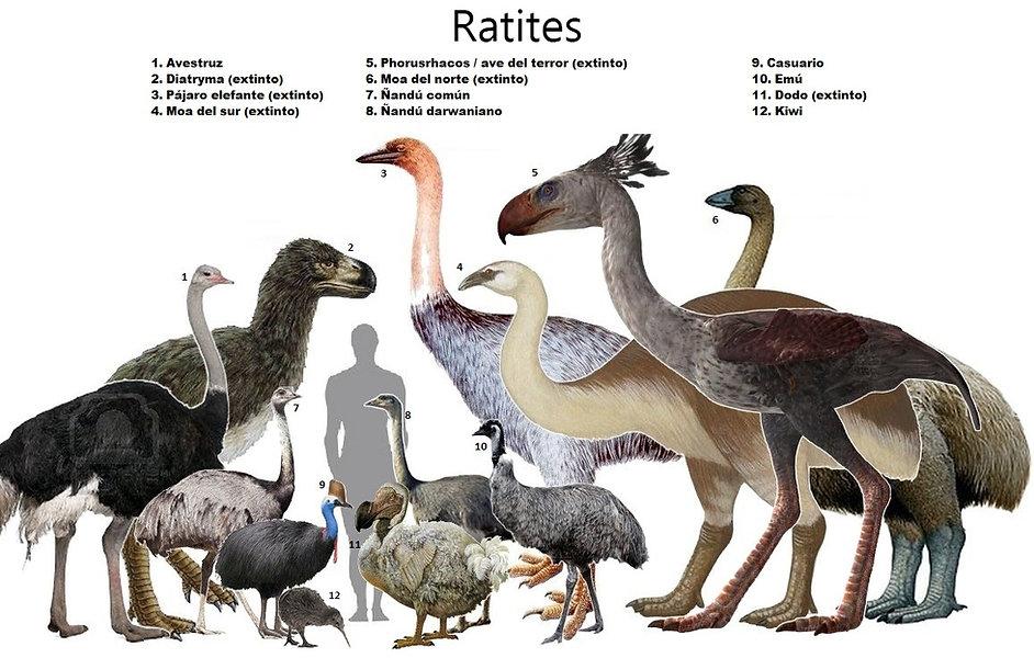 ratites español.jpg