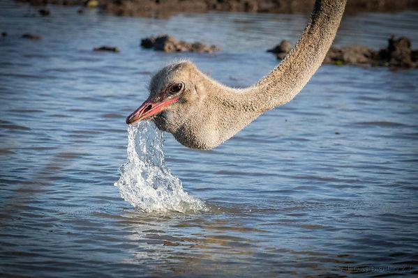 avestruz bebiendo.jpg