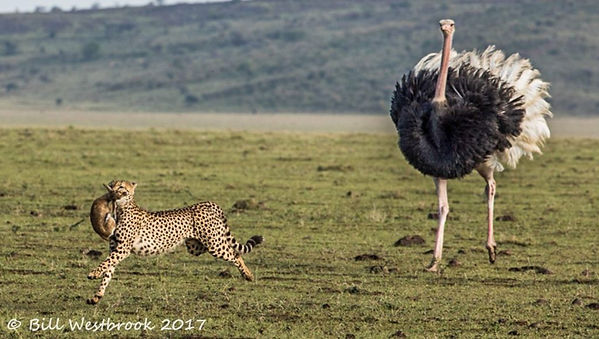avestruz ataca guepardo.jpg