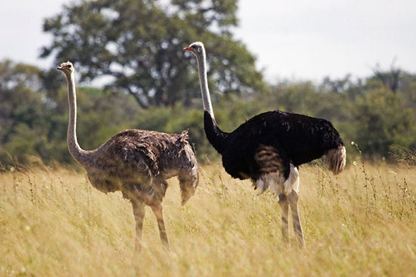 female and male ostrich.jpg