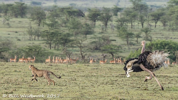 ataque de avestruz.jpg