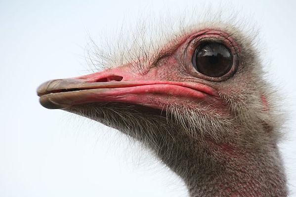 ojo avestruz.jpg