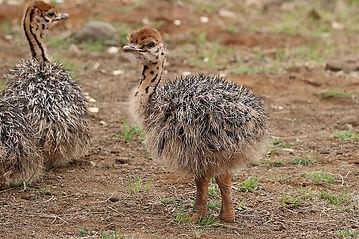 baby ostrich.jpg