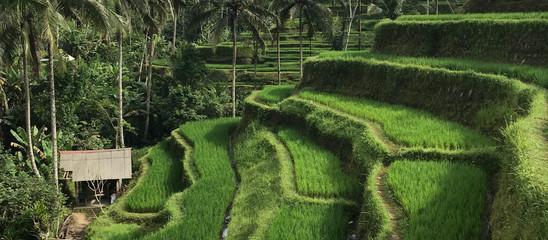 Tegallalang Rice Terrace Bali