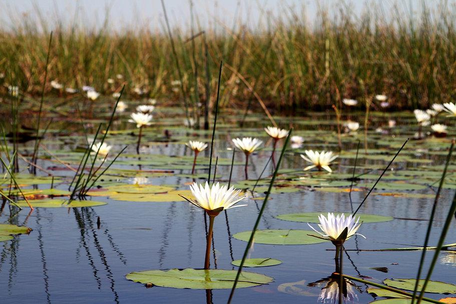 okavango lilies.JPG