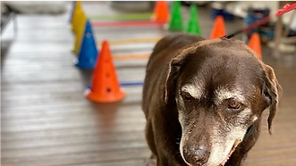 Older dog with obstacle course in background