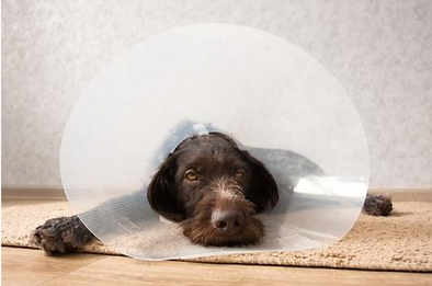 Dog looking sad with cone on head