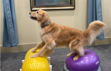Retreiver with all four paws on unstable balls for PT