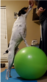 Dog with front paws on big BOSU ball