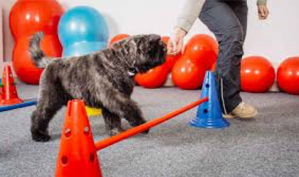 Dog being led over an obstacle for PT