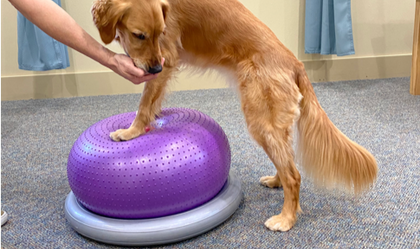 Dog with front feet on unstable ball for therapetuic exercise
