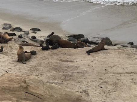 Sea lion rookery