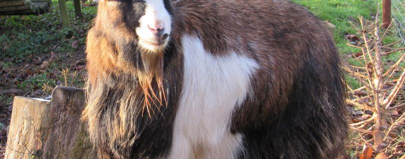 Bracken the Pygmy Goat