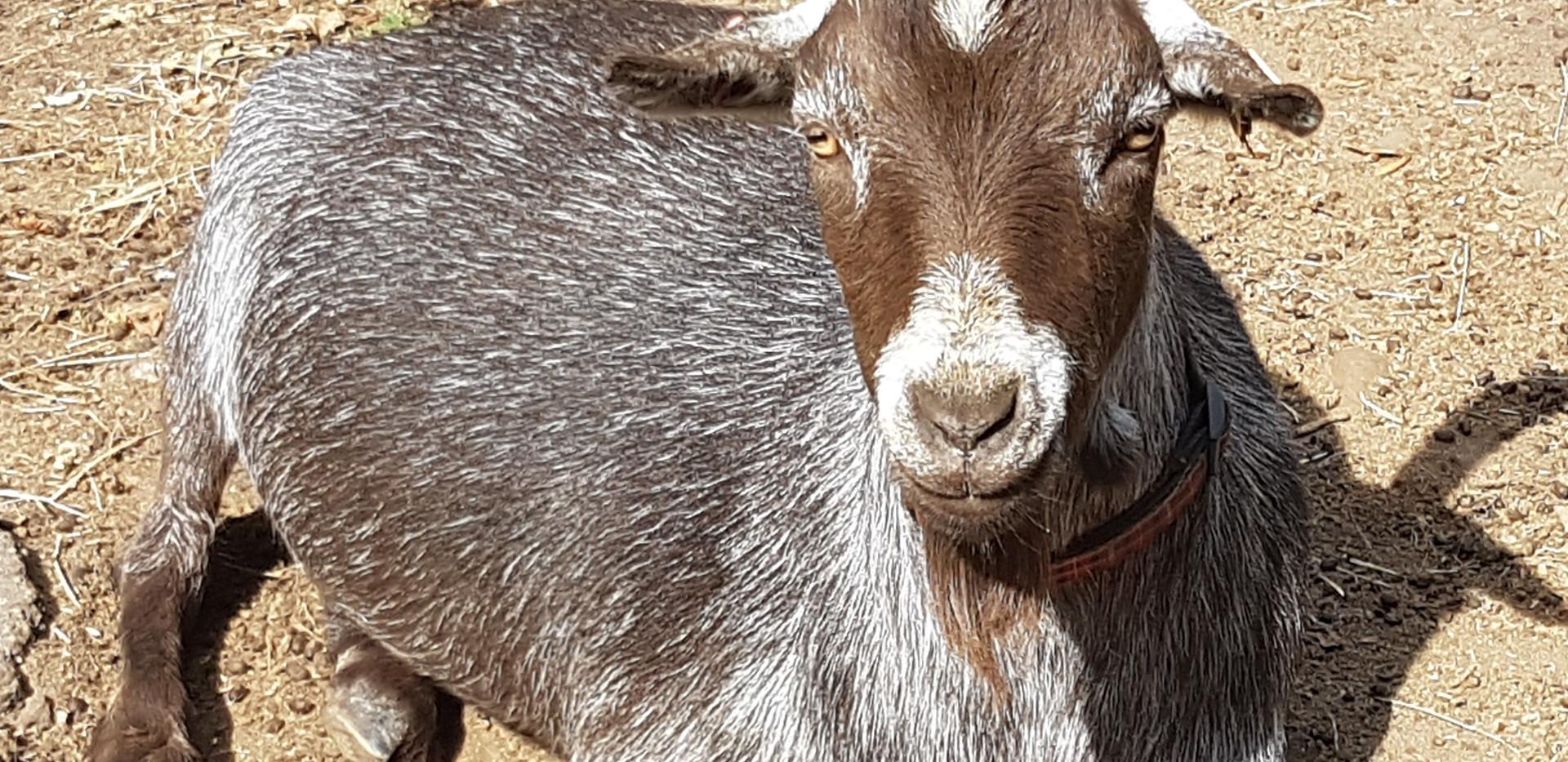 Patch the Pygmy Goat