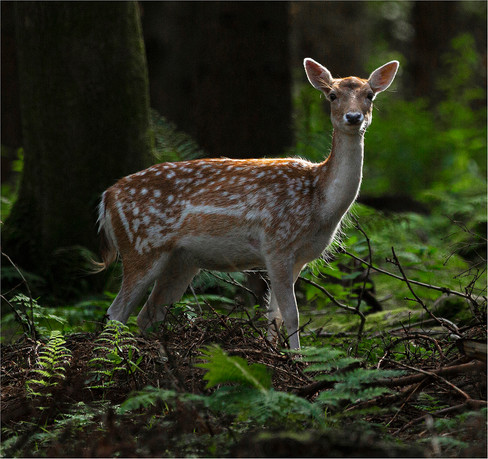 'Fawn' by Donal Collins