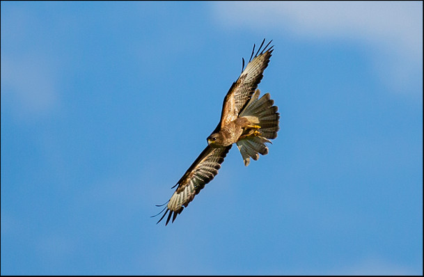 'Buzzard' by Donal Collins - Commended