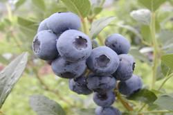 bleuetiere-benoit-bleuets