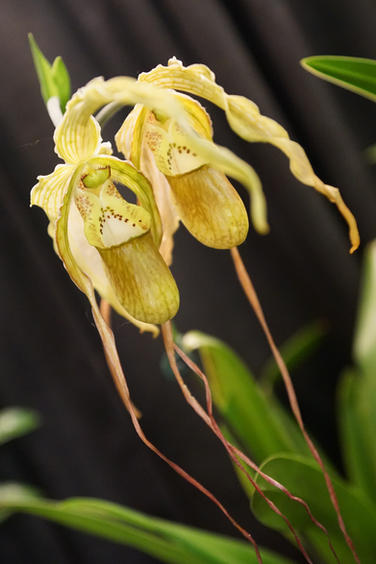 Dancing Orchids