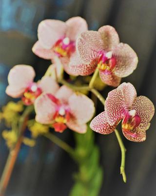 Societal Orchids
