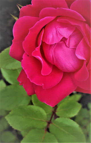 Rose and Shine